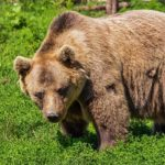 Bear – Spirit Animal, Symbolism and Meaning