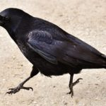 Crow, Raven – Spirit Animal, Symbolism and Meaning