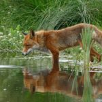 Fox – Spirit Animal, Symbolism and Meaning