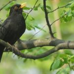 Blackbird – Spirit Animal, Symbolism and Meaning