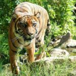 Tiger – Spirit Animal, Symbolism and Meaning